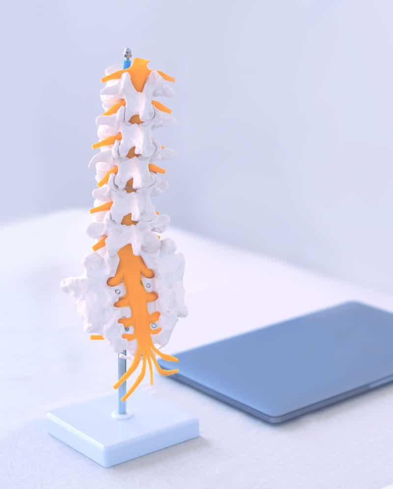 los angeles chiropractor spine model